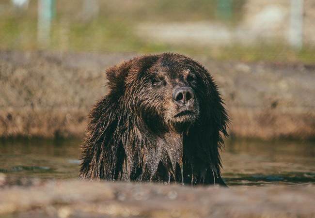 Bear Anya at the BEAR SANCTUARY Domazhyr, Ukraine
