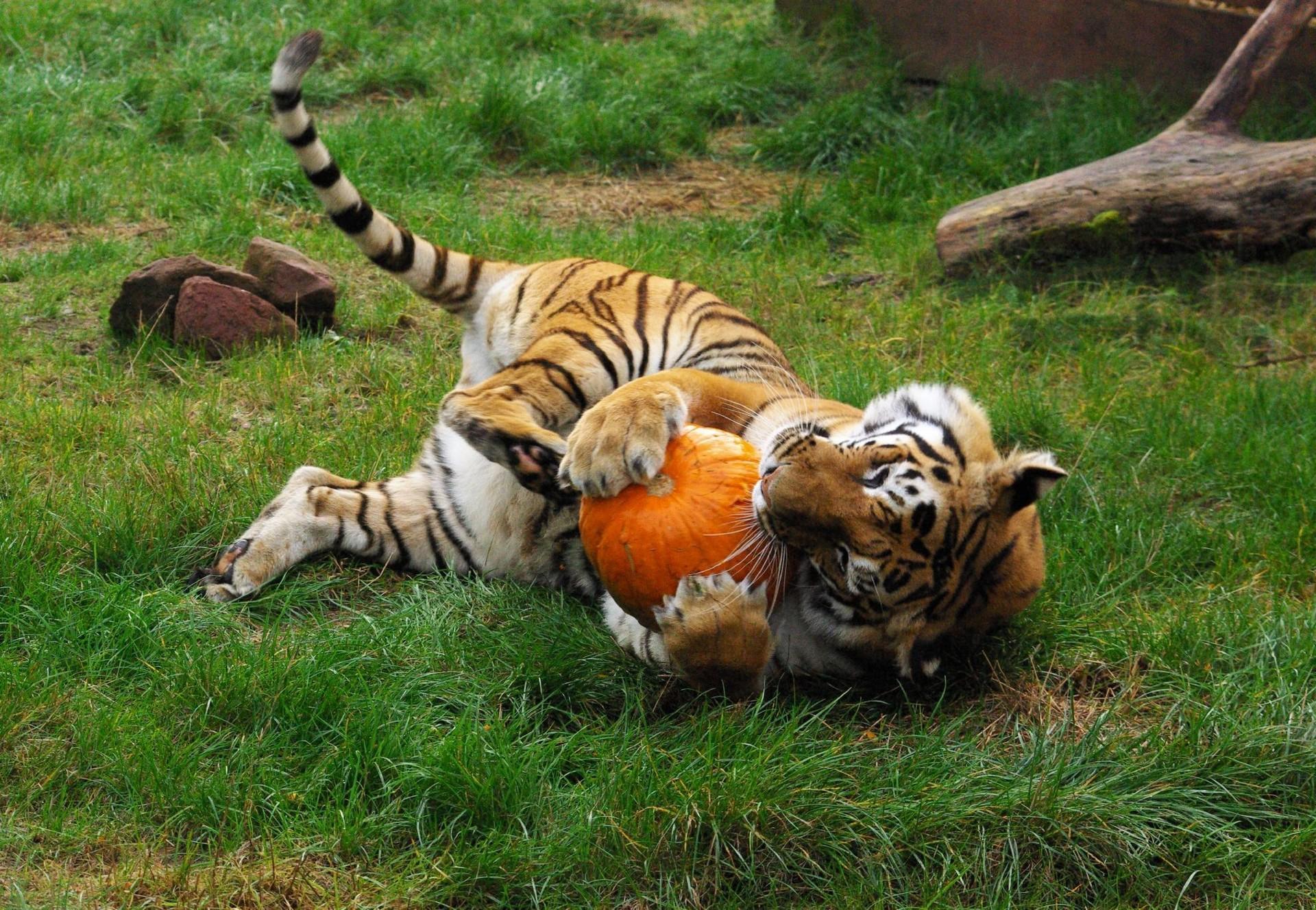 Un tigre en pleine séance de jeu