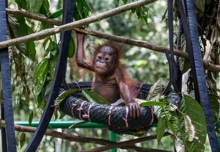 orang-outan orphelin sur un arbre de la forêt de Bornéo