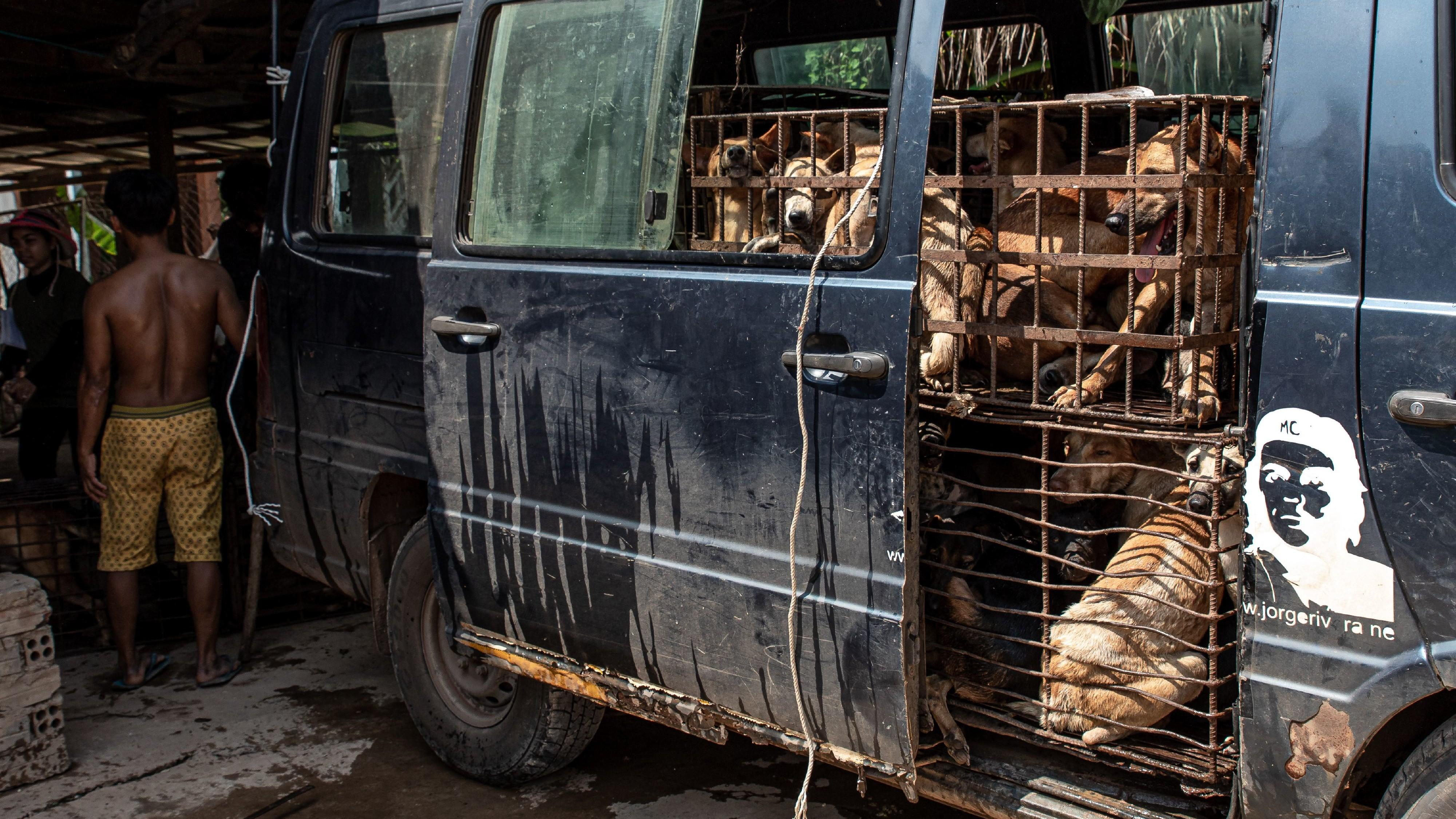 Dogs in cages in a van in Cambodia