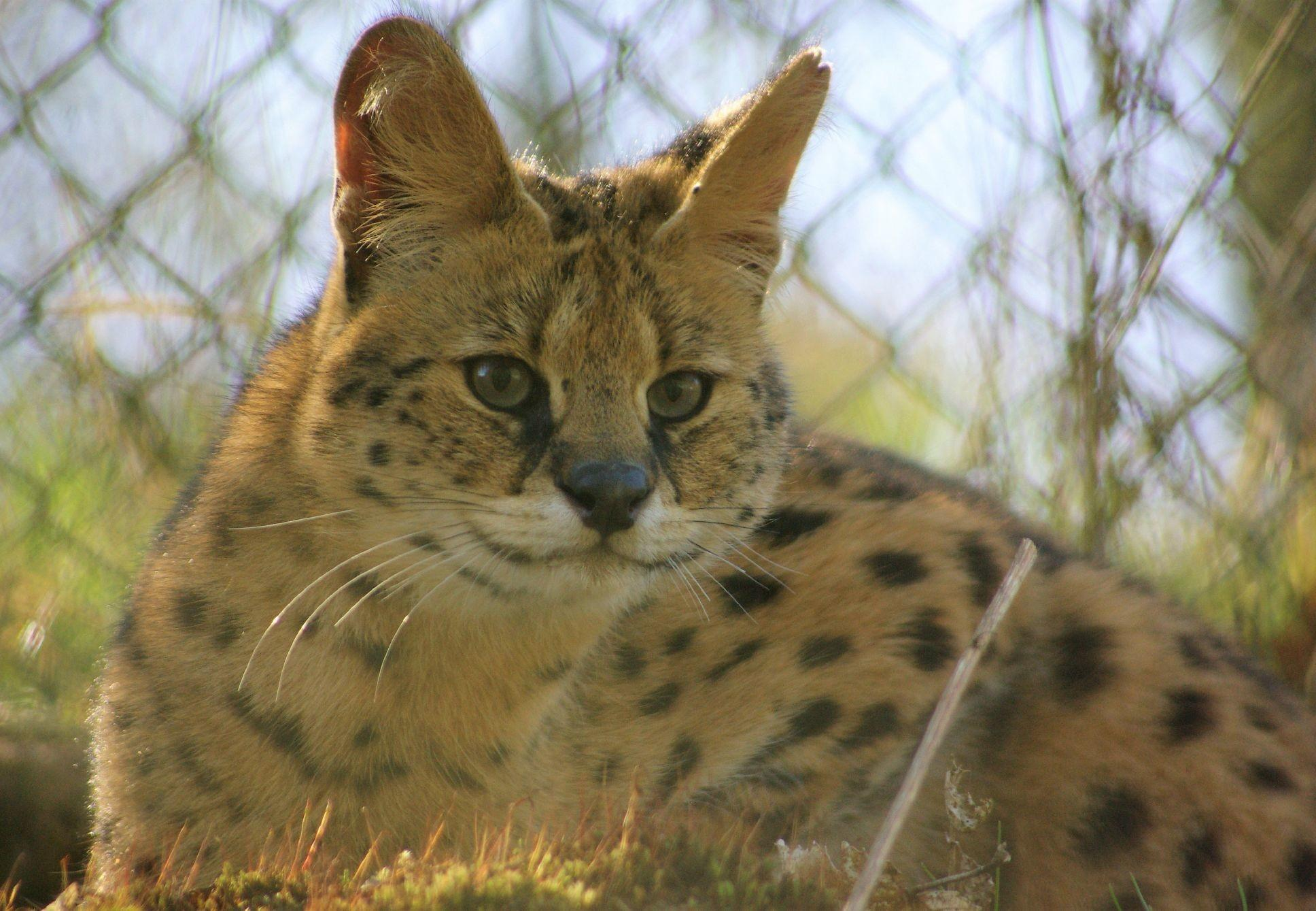 Kiano, der Serval