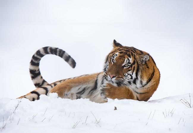 Tigerin Cara liegt im Schnee 2018