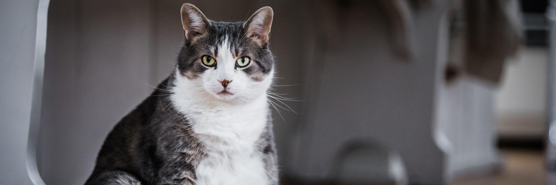 fettleibige Katze