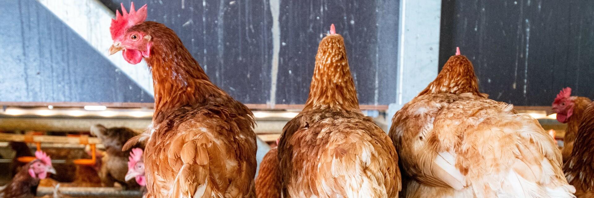 Hühner auf Sitzstangen