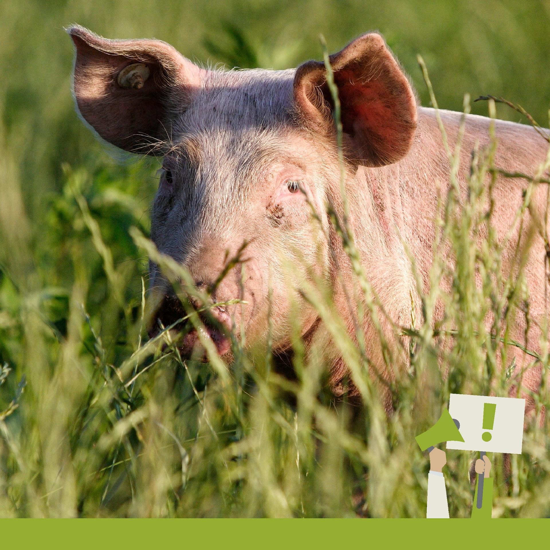 Schönere Neue Welt - Am Bild sieht man ein Schwein in Freilandhaltung