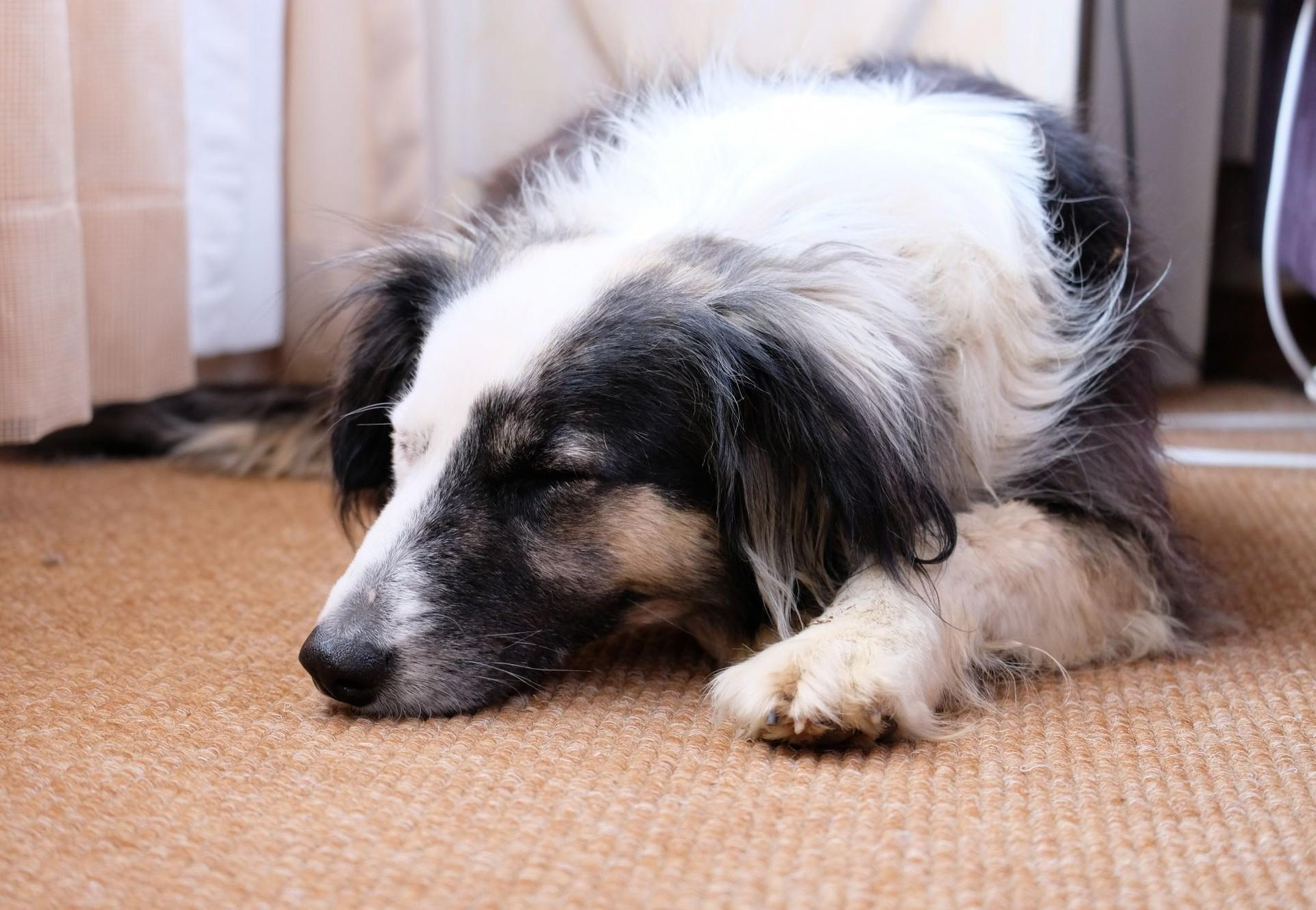 Hund liegt müde am Boden