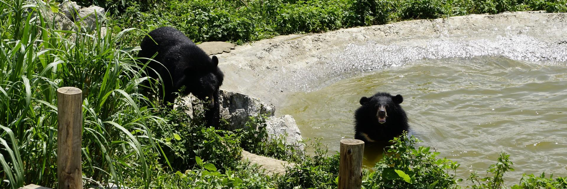 Bears in a pond at our sanctuary