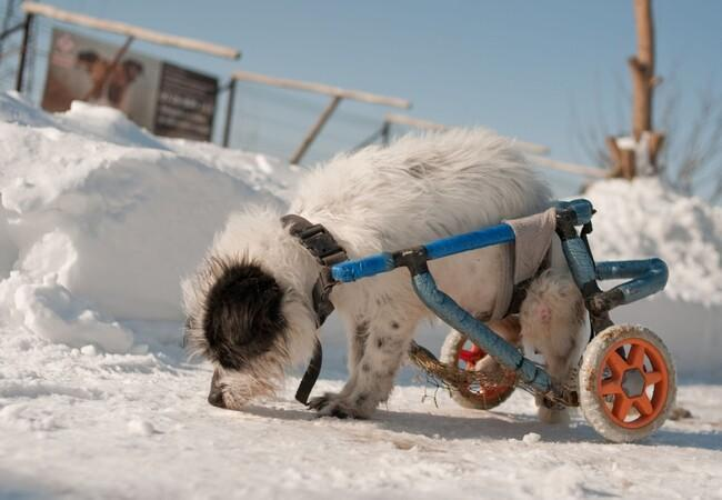 dog in wheelchair at Speranta in the snow