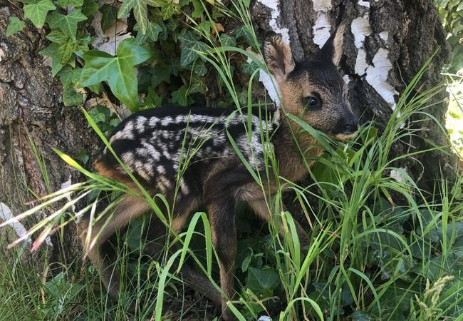 Rescued Fawn at TIERART