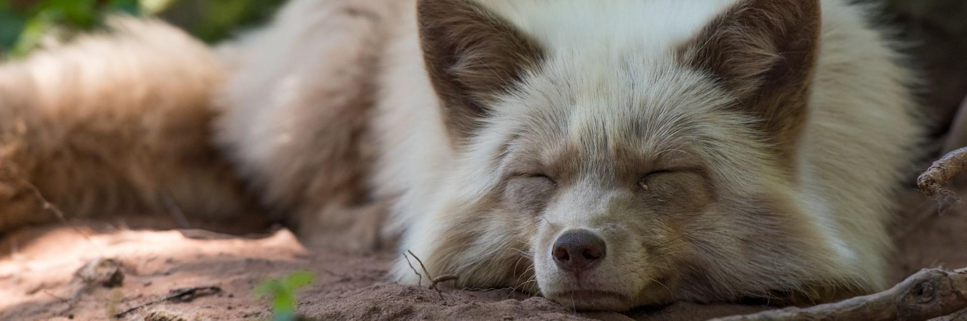 Rescued fur farm fox