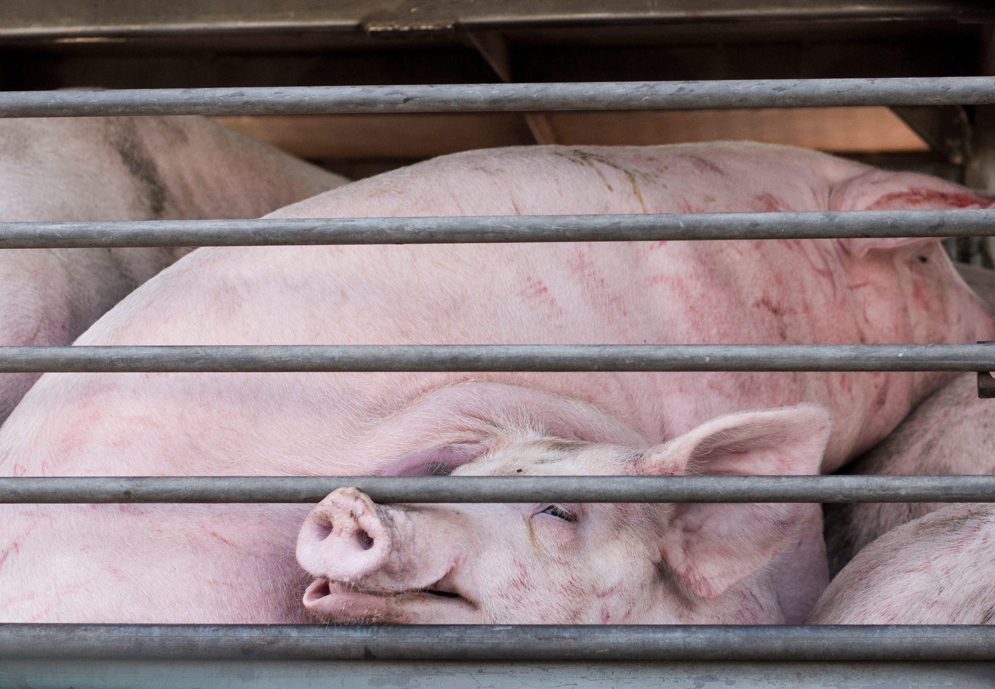Schweine in Tiertransporter