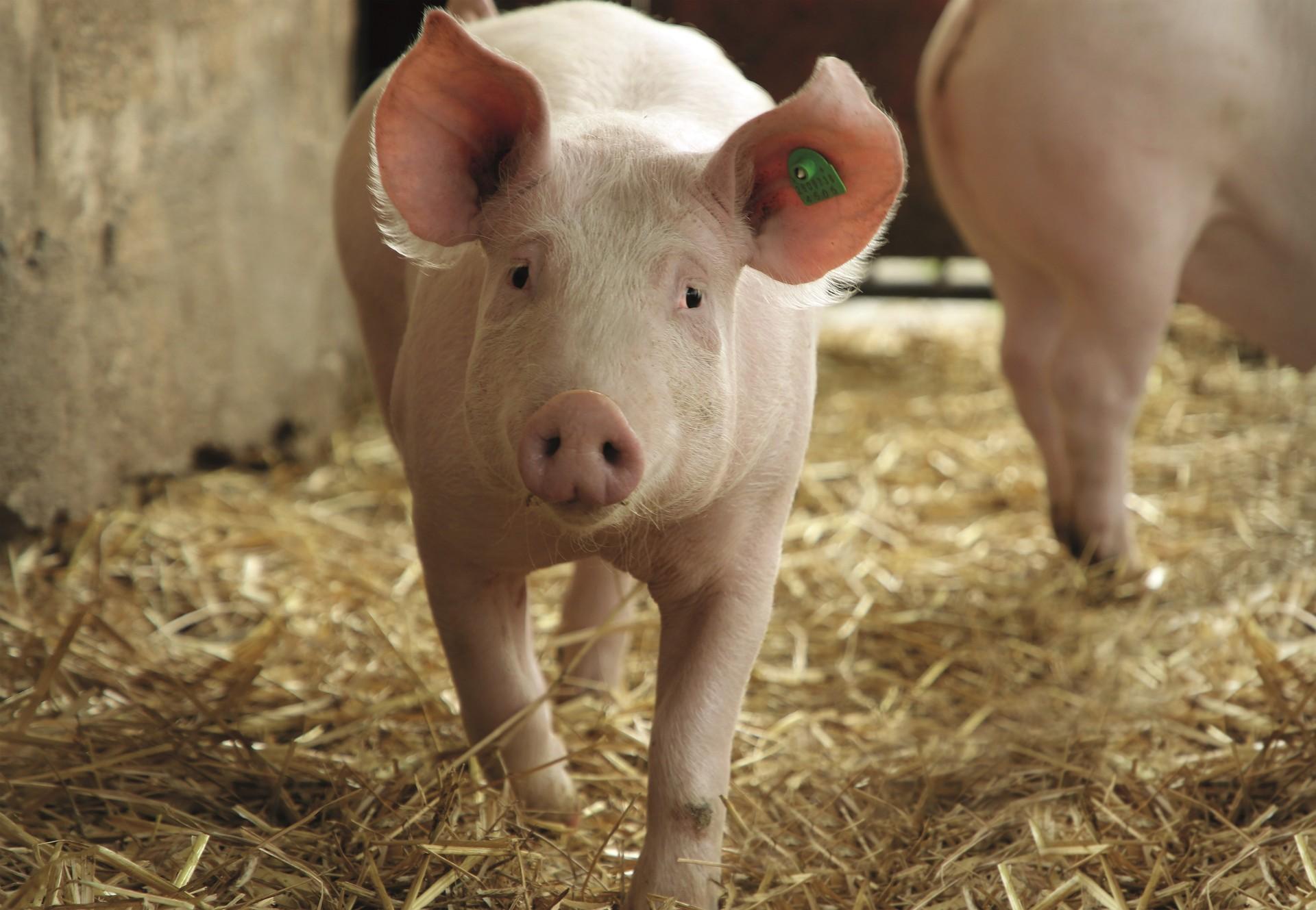 Schwein im Stall läuft neugierig auf den Kameramann zu