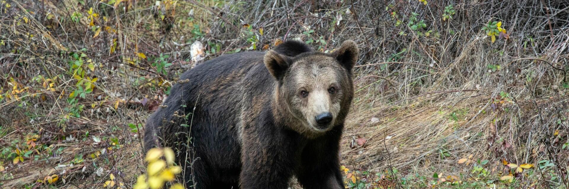 Bear Vesko rescued from Bulgaria