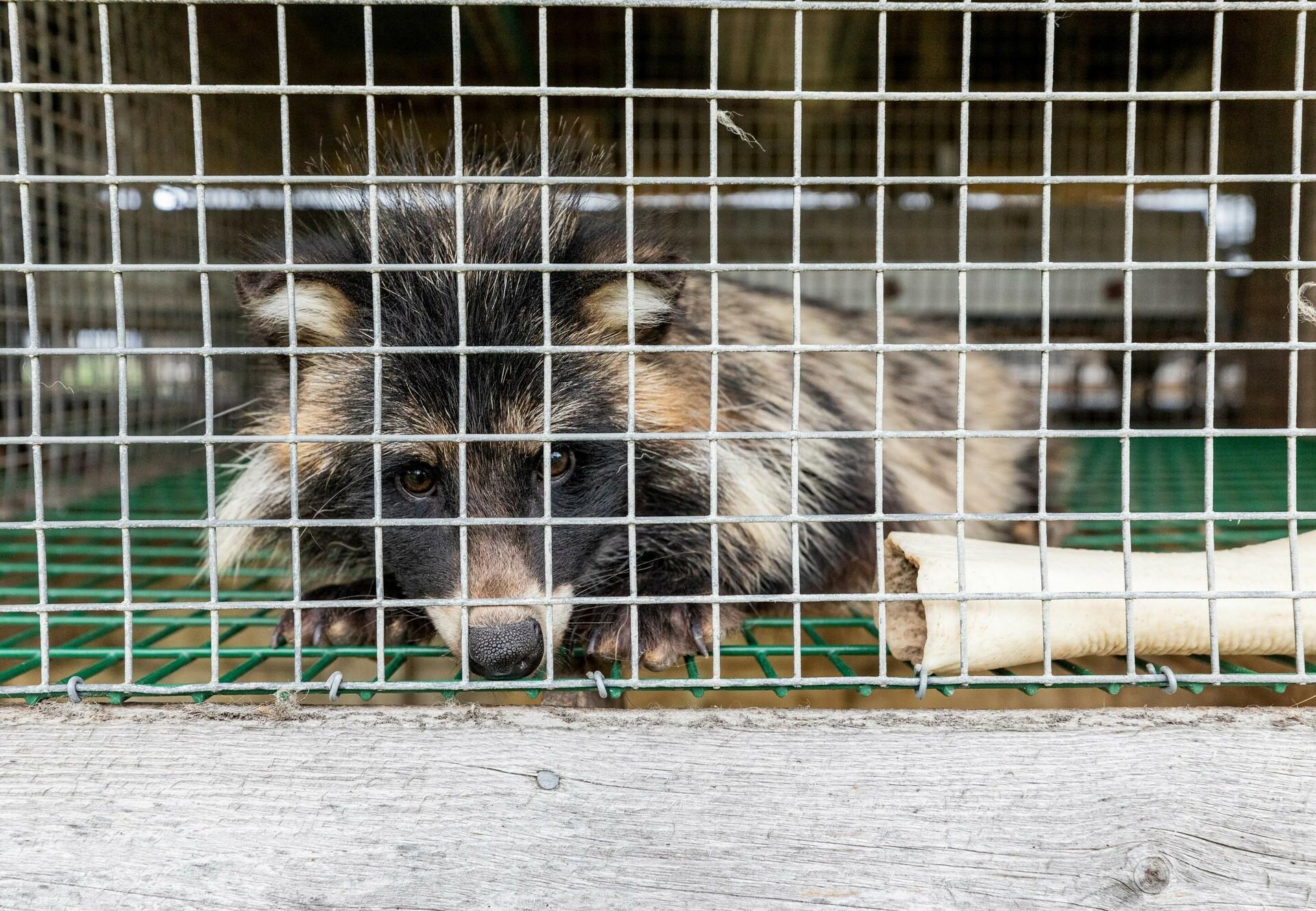 Maderhund im Käfig auf Pelzfarm
