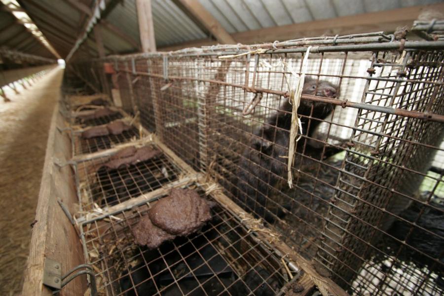 mink-in-a-cage-poop