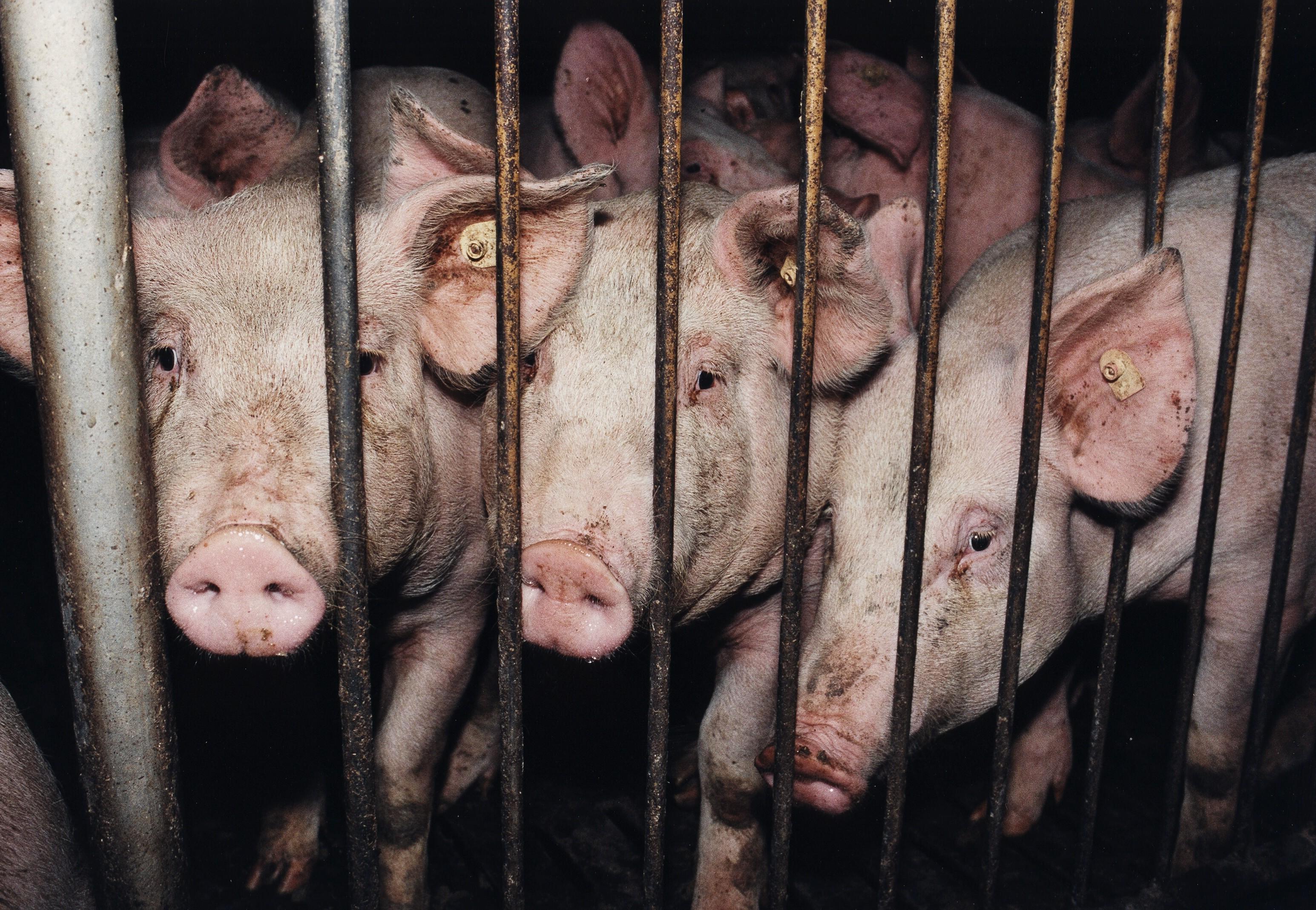Schweine in der Massentierhaltung hinter Gittern