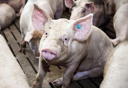 Schwein in deutscher Intensivhaltung
