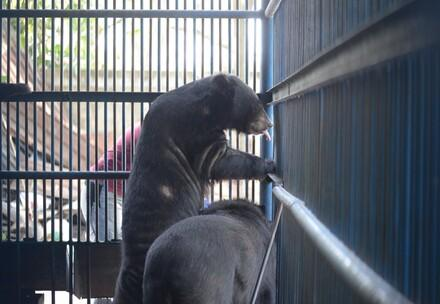 Bile bear caged in a bile bear farm