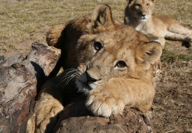 Romanian lions in Lionsrock