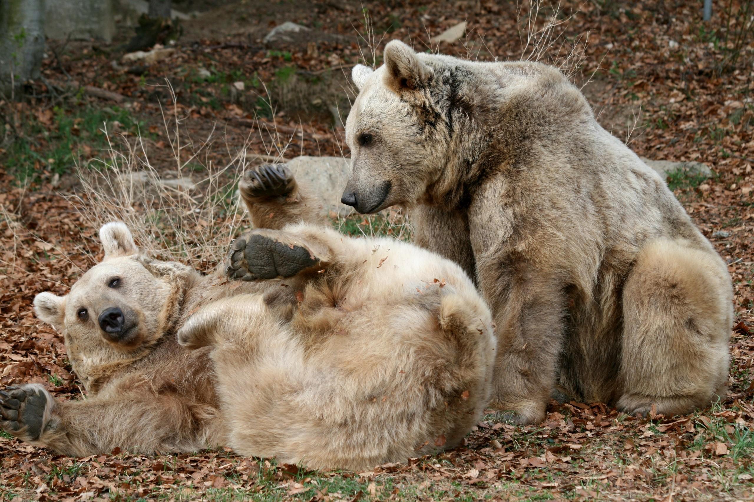 Bären spielen