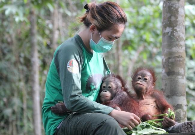 Orangutan Bhima and Indra