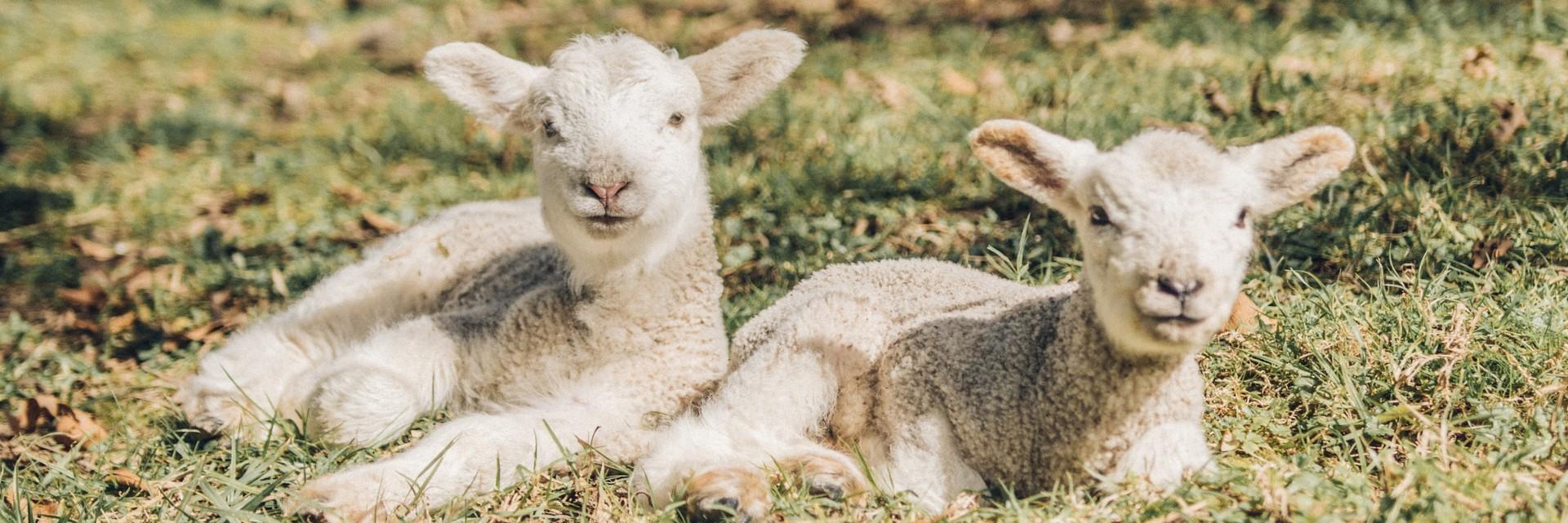 Australian merino lambs