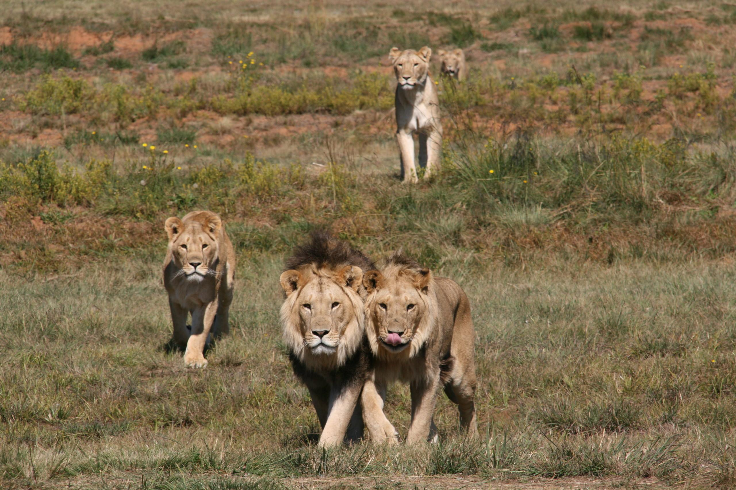 A lifelong Home for Big Cats - Our Animals - Lionsrock