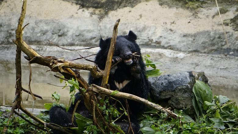 Bear Freddie chewing on sticks