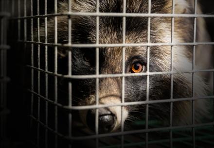 Raccoon on fur farm