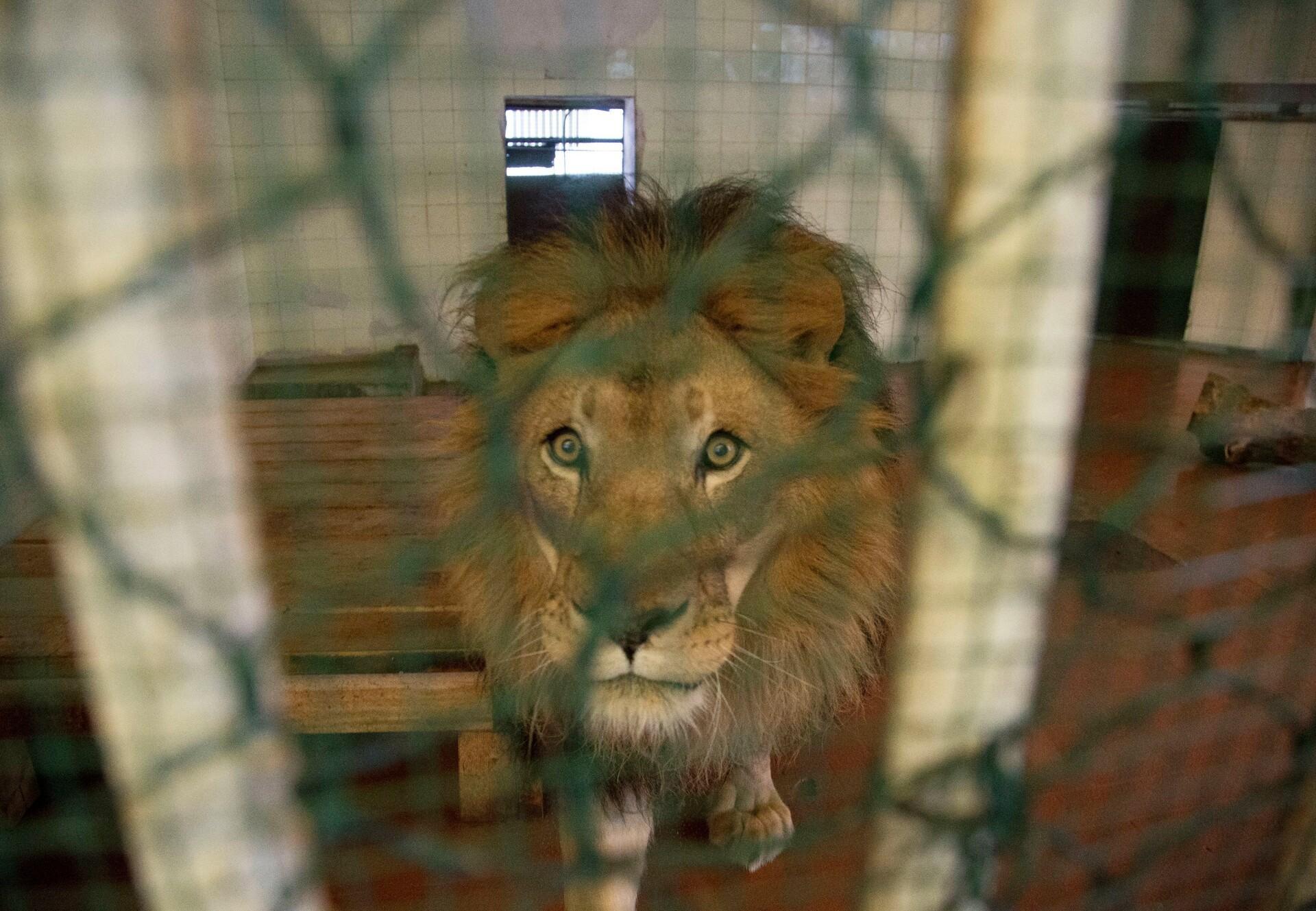 Löwe im Tirana Zoo in Albanien © Roger Allen