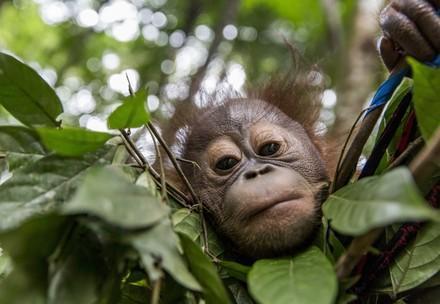 Orangutan orphan