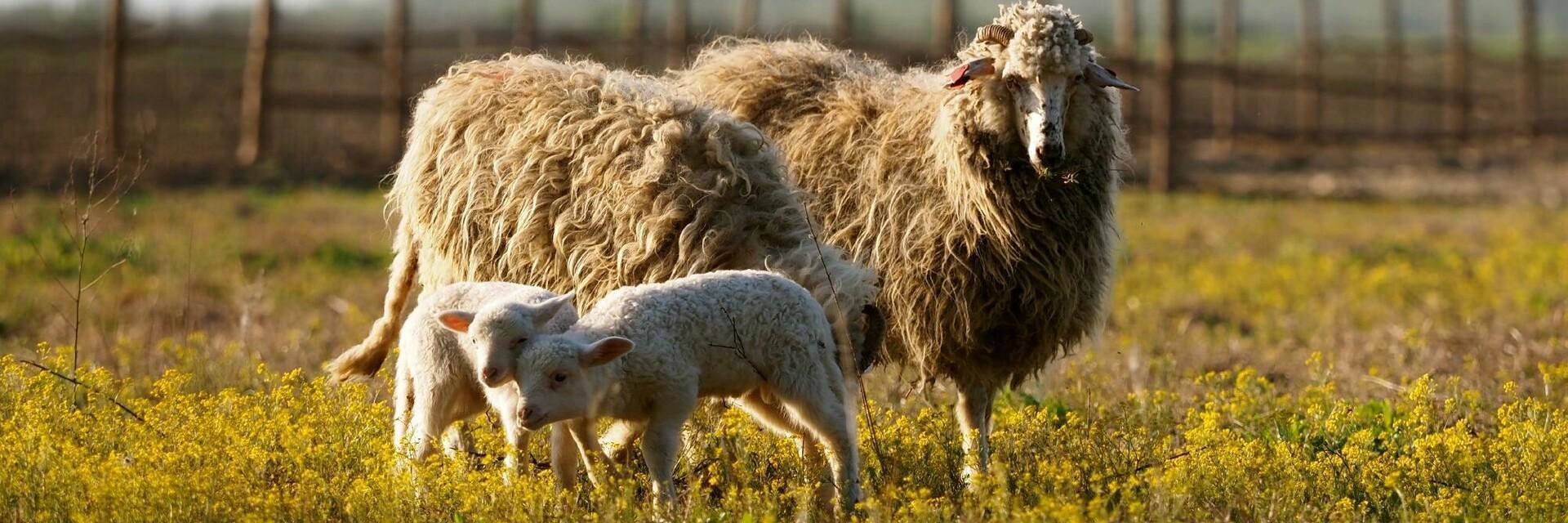 Sauvé des moutons en Roumanie