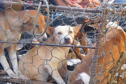 Hunde auf Hundefleisch-Farm