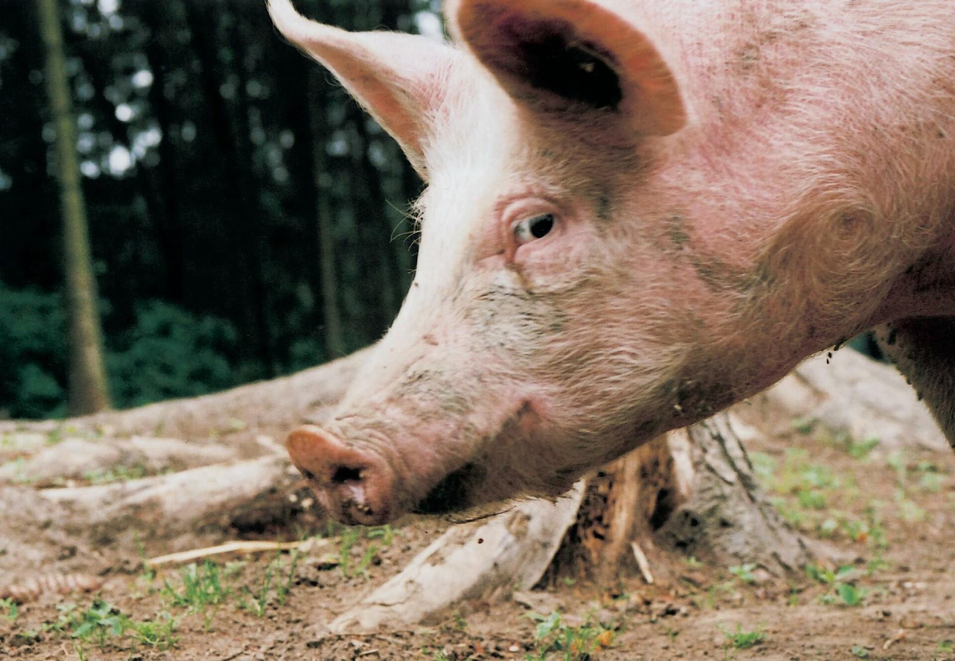 Schwein in der Freilandhaltung