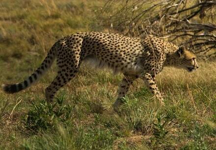 Cheetah walking in the veld