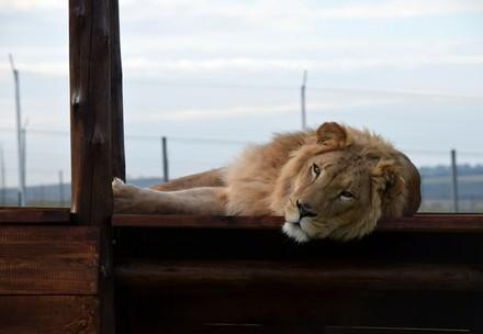 Löwe Simba im Grosskatzen-Refugium Lionsrock