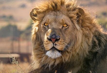 Löwe in LIONSROCK