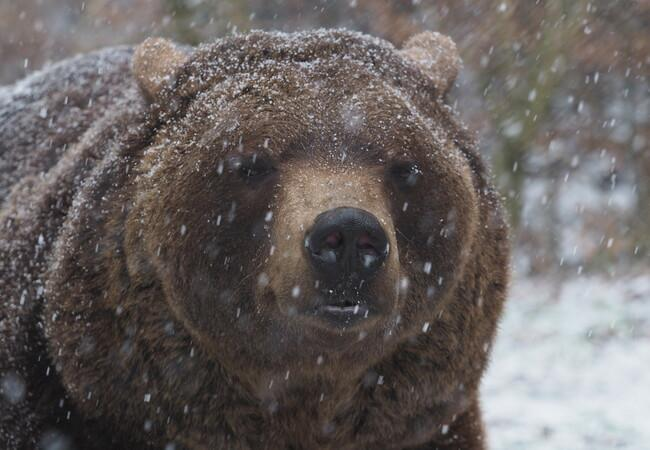 Bear Erich in the snow