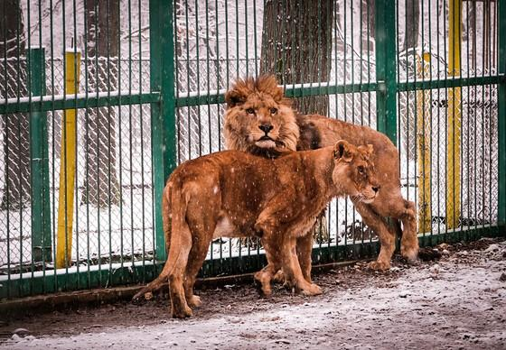 Lions Raya and Hector from Razgrad Zoo