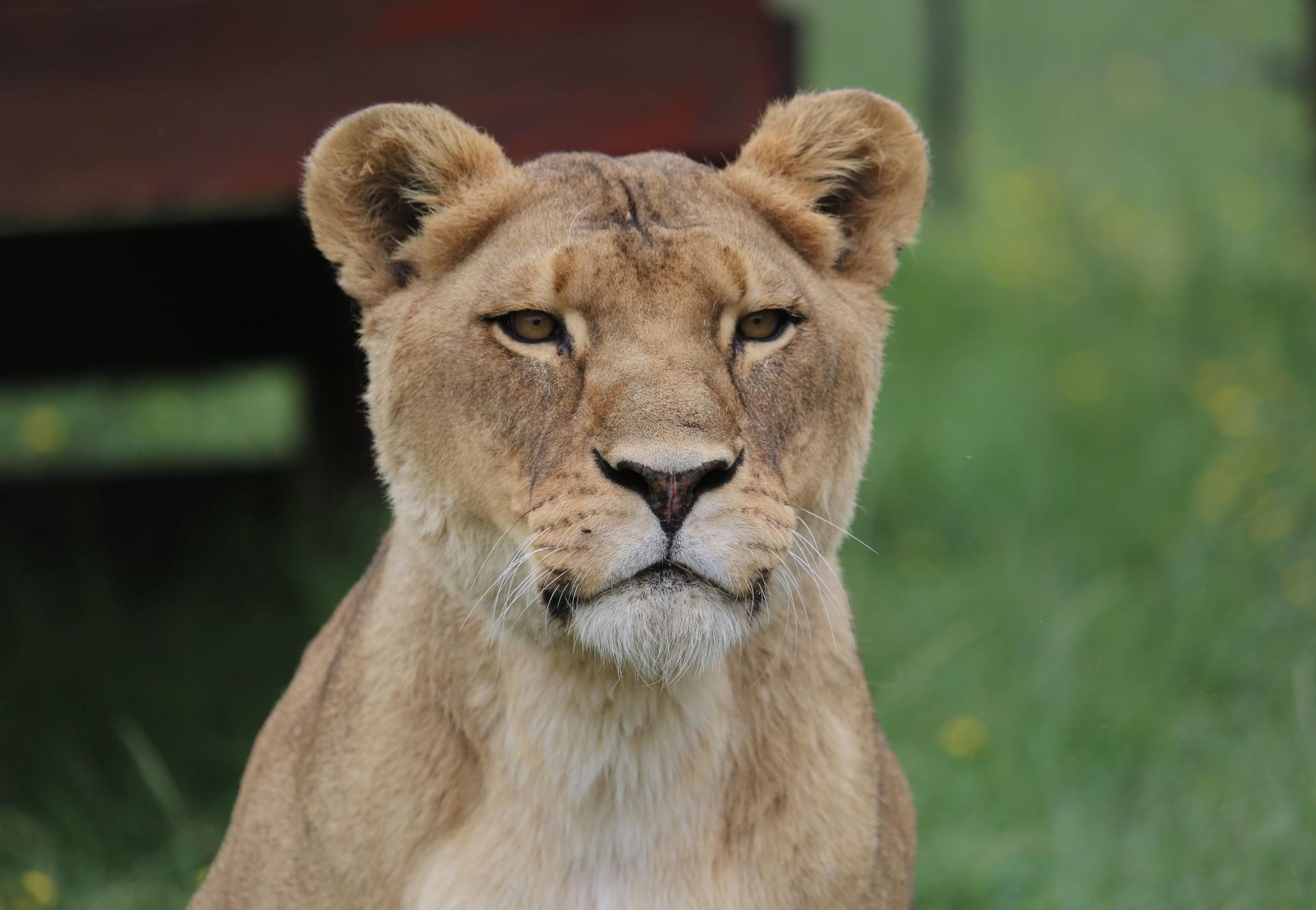 Lioness Neida at LIONSROCK