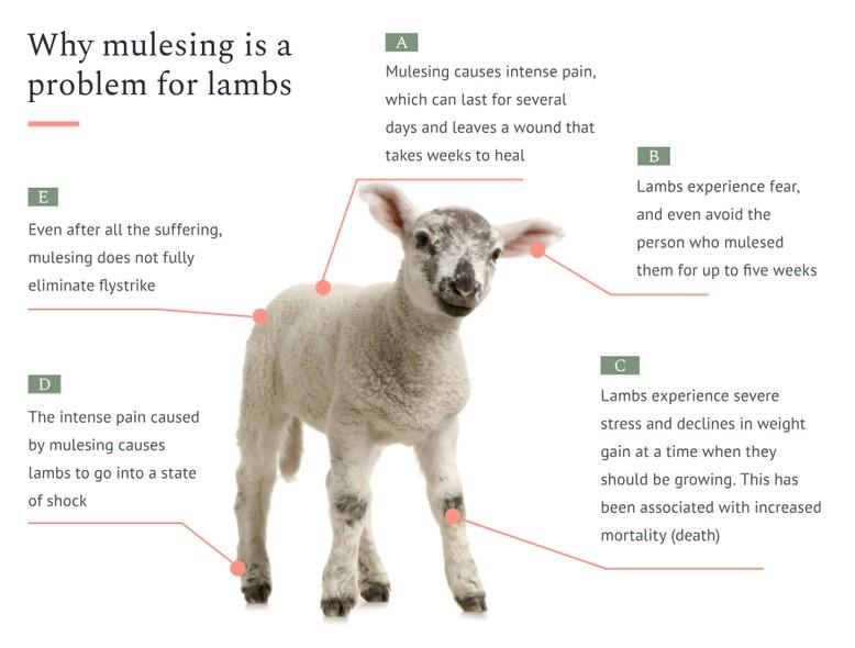 Why mulesing is a problem for lambs