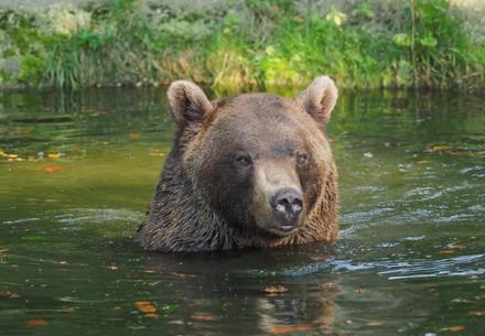Bär Erich im Teich