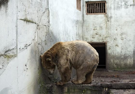 Six bears in concrete pits in Lovech Zoo