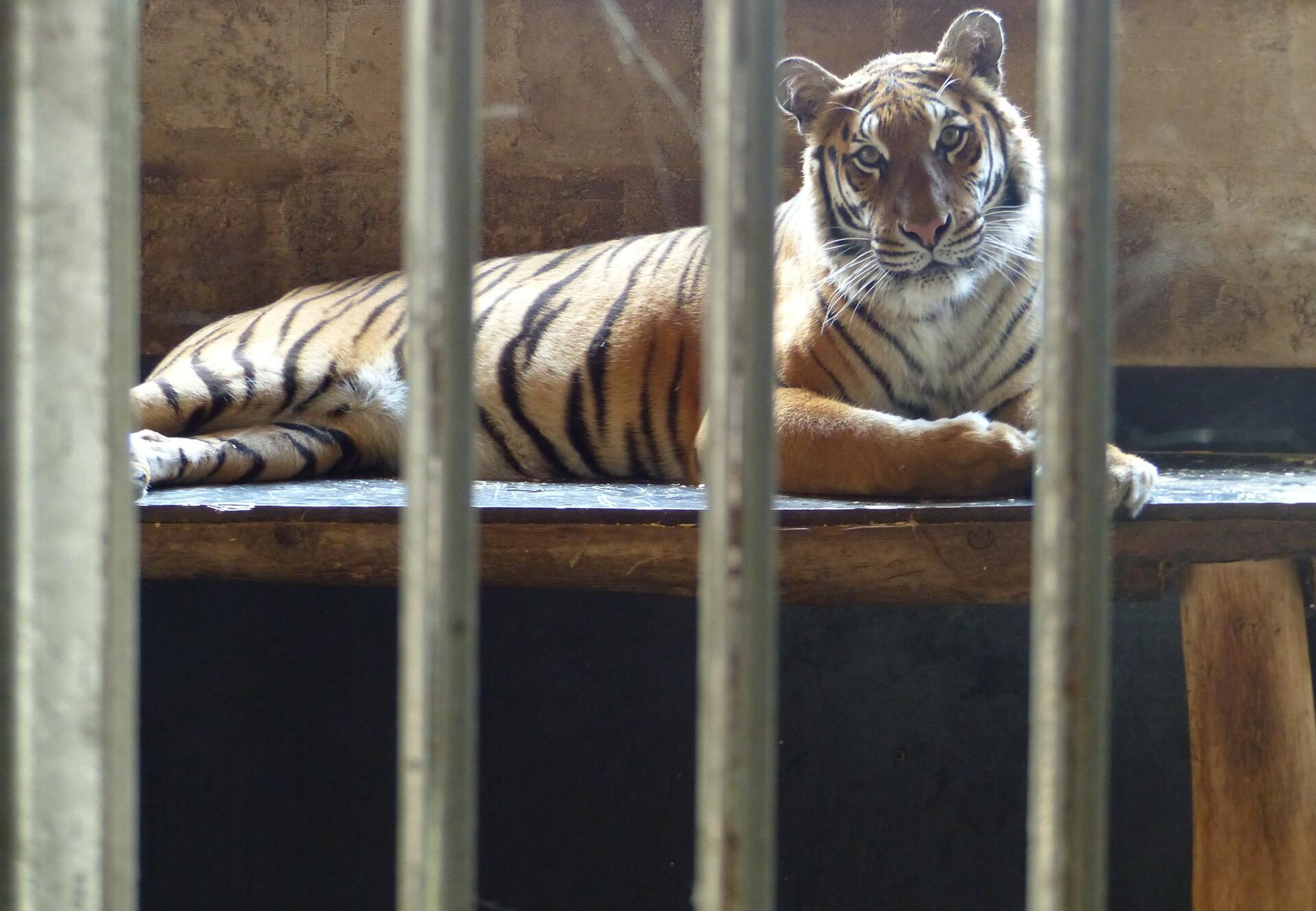 Tiger Trade in Europe