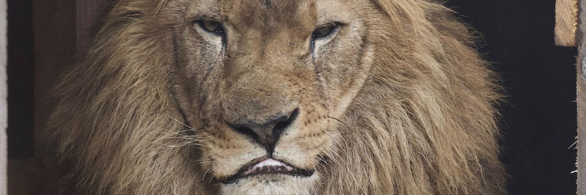 Leeuw Lenci bij FELIDA