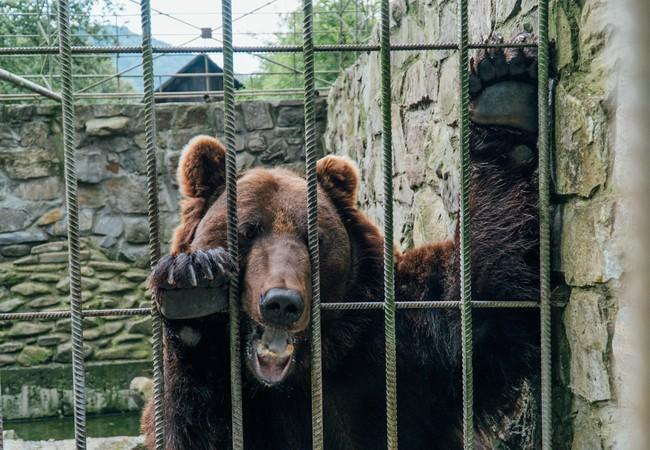 Bear behind bars in a cage