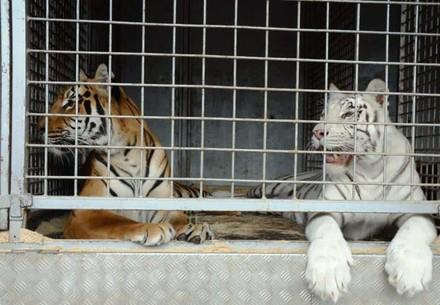 The trade in big cats from Europe is booming