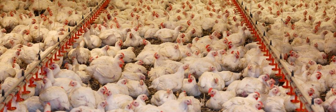 Mass farming of chickens for meat production