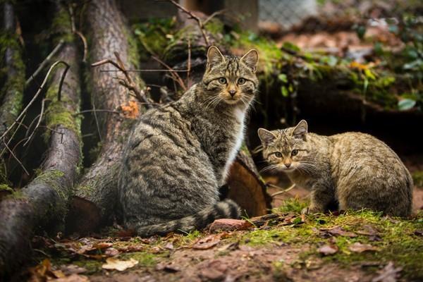 Wildkatzen in TIERART