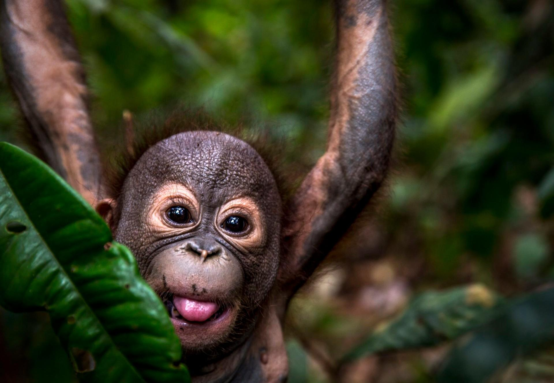 Gerhana à l'ÉCOLE DE LA FORÊT pour orangs-outans de QUATRE PATTES à Bornéo